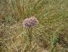 032_Trapani_Ronciglio_flora_Allium_nigrum.JPG