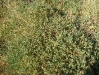 040_Trapani_Ronciglio_flora_Atriplex_portulacoides.jpg