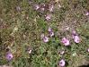 047_Trapani_Ronciglio_flora_Convolvulus_cantabrica.jpg