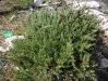 054_Trapani_Ronciglio_flora_Inula_crithmoides.jpg