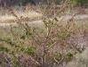060_Trapani_Ronciglio_flora_Lavatera_arborea.jpg