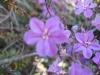 063_Trapani_Ronciglio_flora_Limoniastrum_monopetalum.jpg