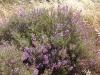 064_Trapani_Ronciglio_flora_Limoniastrum_monopetalum.jpg