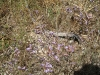 066_Trapani_Ronciglio_flora_Limonium_densiflorum.jpg