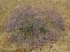 067_Trapani_Ronciglio_flora_Limonium_densiflorum.jpg