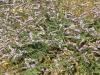 068_Trapani_Ronciglio_flora_Limonium_densiflorum.jpg