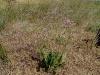 069_Trapani_Ronciglio_flora_Limonium_vulgare_serotinum.jpg