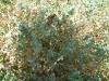 071_Trapani_Ronciglio_flora_Lotus_cytisoldes.jpg
