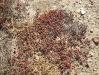 074_Trapani_Ronciglio_flora_Mesembryanthemum_nodiflorum.jpg