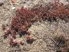 075_Trapani_Ronciglio_flora_Mesembryanthemum_nodiflorum.jpg