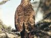 154_Trapani_Ronciglio_fauna_Pernis_apivorus_Falco_pecchiaiolo.jpg