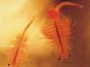 182_Trapani_Ronciglio_entomofauna_Artemia_salina.jpg