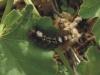 186_Trapani_Ronciglio_entomofauna_Tela_dubia_arcerii.jpg