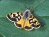 187_Trapani_Ronciglio_entomofauna_Cicindela_circumdata.jpg