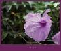 002-Campanula-Rugiada.jpg