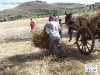 IMGP3937_scarico_delle_gregne_dal_carro_all_aia.JPG
