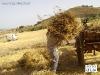 IMGP3939_scarico_delle_gregne_dal_carro_all_aia.JPG