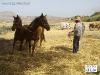 IMGP3965_la_fase_della_cacciatina_con_2_cavalli_appaiati.JPG